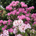 Album - Rhododendronok