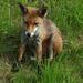skót róka
