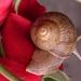 Rózsa csigával