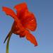 sarkantyúvirág