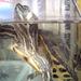 Vörösfülű ékszerteknősök:  Incike és Fincike