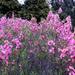 Rózsaszín virágú bokrok