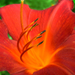 Red Lilly