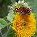 rovarok, kíváncsi pillangó
