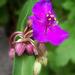különleges növények, lila virág bimbókkal