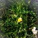 vadvirágok, novemberi pitypang virág