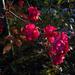 rózsa, esti őszikék